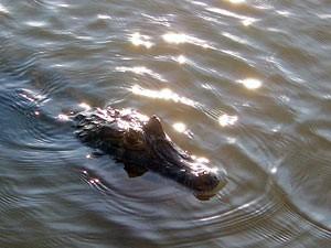 Amazone reizen - Krokodil