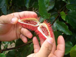 amazone vrucht