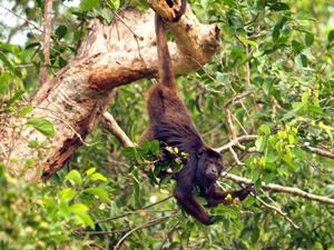 Brazilie aap - de Pantanal