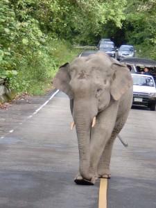 khao-yai-elefant-strasse