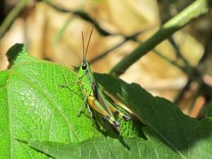 Thailand Rundreise und Badeurlaub - Grüne Heuschrecke im Khao Yai Nationalpark