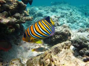 Bunte Fische beim Schnorcheln vor Koh Tao entdecken