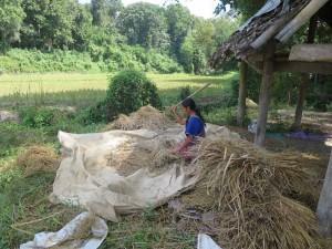 chiang-mai-trekking-reisernte-arbeit