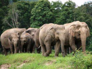 Elefanten im Camp bei Chiang Mai