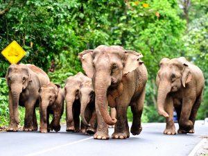 Elefantenherde im Khao Yai Nationalpark