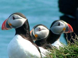 Borgarfjörður Papageientaucher Island