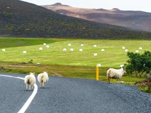 Treffen Sie Schafe auf Ihrer Route