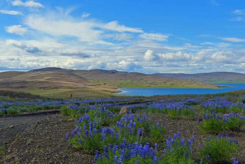 Warum nach Island reisen? Hochland Blumen