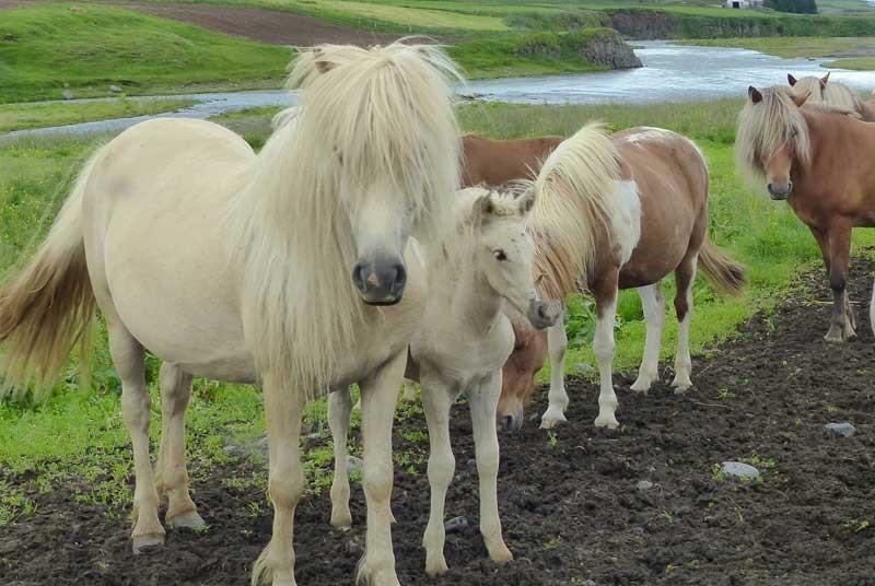 Warum nach Island reisen? Island Pferde