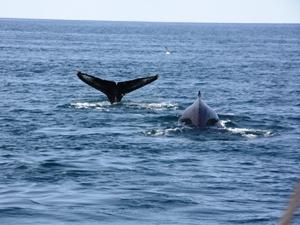 Island Urlaub island-walflosse-Wale-Meer