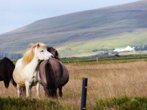 Island Highlights Island-Pferde-Natur-Landschaft-Tiere
