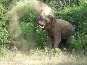 Ein großer Elefant wäscht sich im Sri Lanka Nationalpark mit Sand