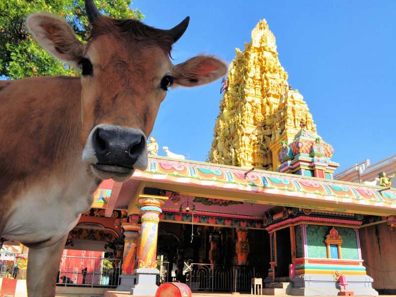 Kuh vor Hindu-Tempel in Jaffna in Sri Lanka