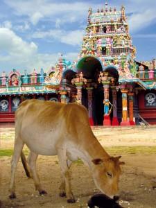 Eine Kuh vor einem Hindu-Tempel