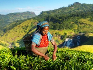 Teepflückerin im Hochland Sri Lankas