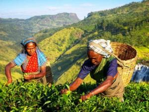 Einheimische pflücken Tee in der Nähe von Nuwara Eliya