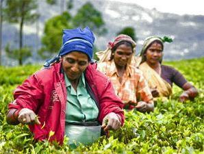 Teepflückerinnen bei Nuwara Eliya