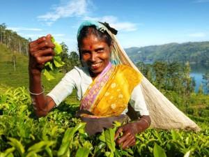 Eine Teepflückerin im Sari