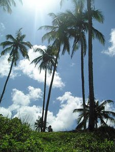 Palmen in der Sonne Sri Lankas