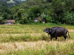 Der Reisernte wird auch in Sri Lanka gedankt