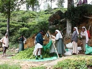 Teepflückerinnen bei der Arbeit
