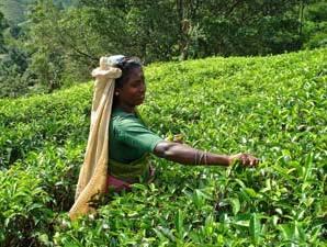 Satt grüne Farben der Teeplantagen