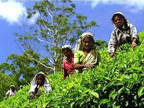3 Wochen Sri Lanka: Teefeld in Nuwara Eliya