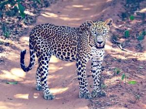 Ein wilder Leopard im Nationalpark