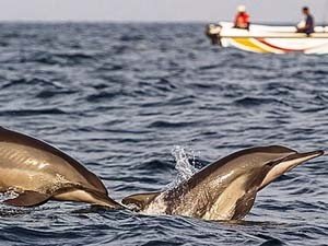 Delfine beobachten in der Bucht von Kalpitiya