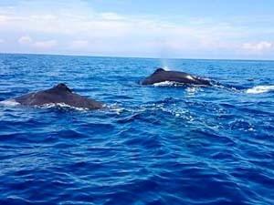Wale vor der Küste Sri Lankas