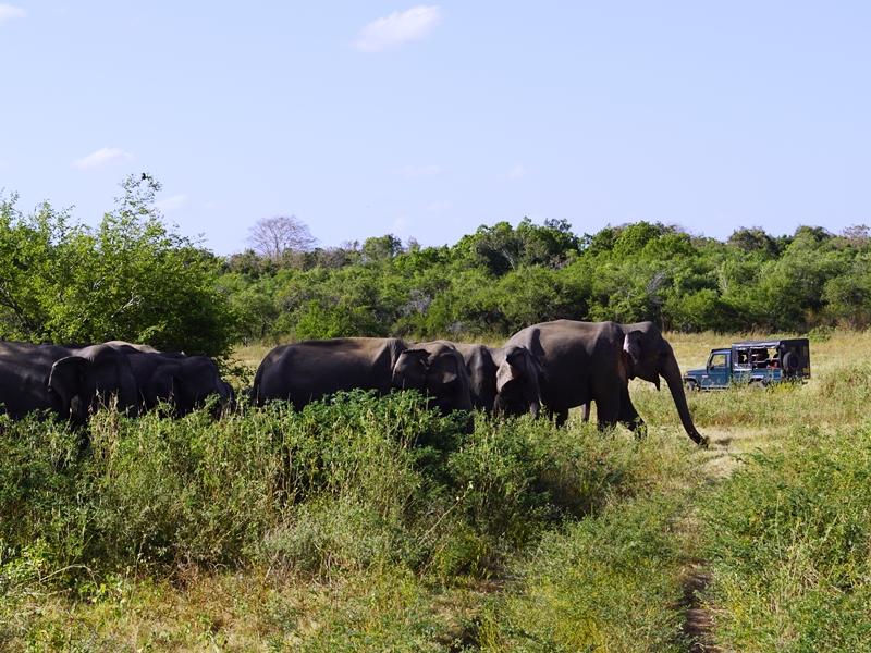 Polonnaruwa Elefantensafari in Sri Lanka