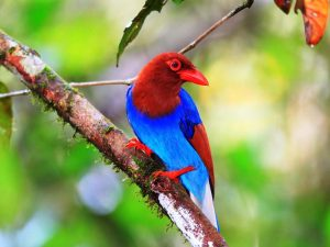 Ein bunter Bewohner des Sinharaja Regenwaldes