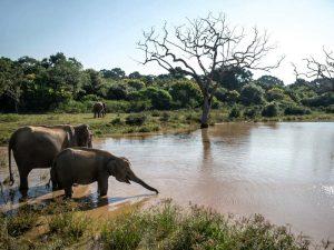 Elefanten erfrischen sich an einer Trinkstelle im Yala Nationalpark