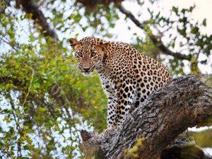Gut versteckt: Ein Leopard im Yala Nationalpark