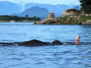 Ein Elefant durchquert einen See im Gal Oya Nationalpark