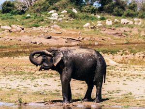 Ein Elefant beim Schlammbad im Gal Oya Nationalpark