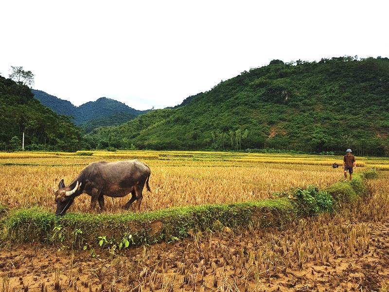Wasserbüffel Vietnam