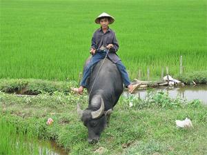 Wasserbüffel in Vietnam