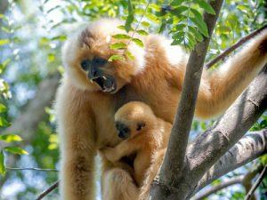 Gibbon Weibchen mit Jungtier