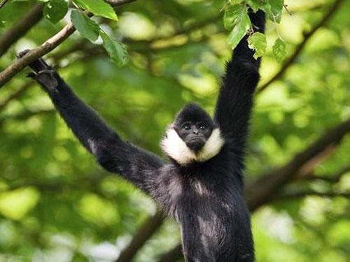 Goldwangen Gibbon im Cat Tien Nationalpark