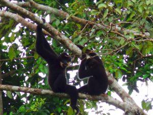 Gibbons im Cat Tien Nationalpark