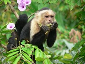 Kapuziner Affe beim Frühstück