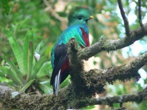 Quetzal in Monteverde