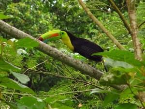 Tukan im Geäst des Manuel Antonio Nationalparks