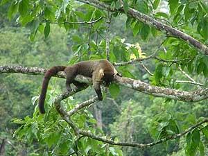Nasenbär beim ausruhen in den Baumwipfeln