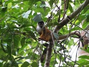 Affe im Baum im Corcovado Nationalpark