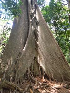 Ein Baumriese im Nationalpark Rincón del Vieja