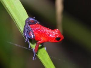 Blue-Jeans Frog im Garten in Sarapiqui
