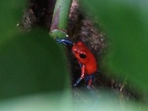 Frosch im Ranarium in Monteverde