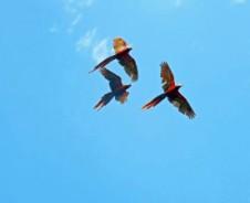 Fliegende Aras & hungrige Krokodile am Rio Tarcoles
